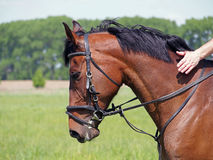 Portrait of bay horse of sporting breed. In a bridle on a natural background Stock Images
