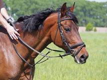 Portrait of bay horse of sporting breed. In a bridle on a natural background Stock Photography