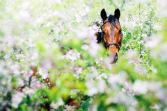 Portrait of bay horse in spring garden Stock Image