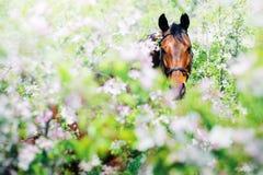 Portrait of bay horse in spring garden Stock Image