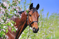 Portrait of bay horse in spring garden