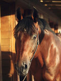 Portrait of bay horse in stable Royalty Free Stock Photos