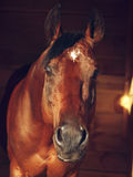 Portrait of bay horse in stable Stock Image