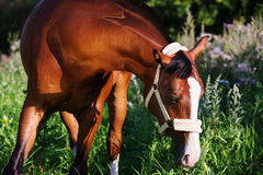 Portrait of bay horse Royalty Free Stock Photography