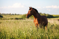 Portrait of a bay horse in the tall grass in the summer. Portrait of a bay horse in the tall grass stock image