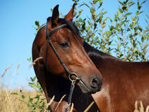 Portrait of the bay horse in verdure Stock Photo