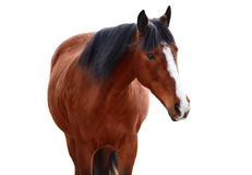 Portrait of Bay horse on a white background. Portrait of Bay horse on white background royalty free stock photo