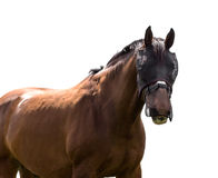 Portrait of a bay horse on a white background Stock Photos