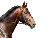 Portrait of bay horse on white background Royalty Free Stock Images