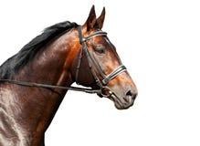 Portrait of bay horse on white background. Ammunition Royalty Free Stock Images
