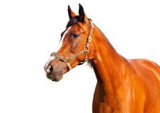 Portrait of bay horse on a white background. Beauty portrait of bay horse on a white background royalty free stock photo