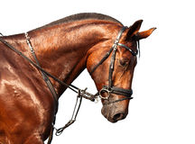 Portrait of bay horse on a white background Royalty Free Stock Photography
