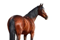 Portrait of a horse on a white background. Portrait of Bay horse on a white background Royalty Free Stock Photography