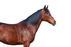 Portrait of a horse on a white background. Portrait of Bay horse on a white background Royalty Free Stock Image