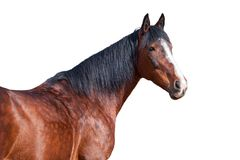 Portrait of a horse on a white background. Portrait of Bay horse on a white background Stock Photography