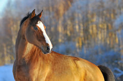 Portrait bay horse in winter. Portrait bay horse in gold winter Stock Images