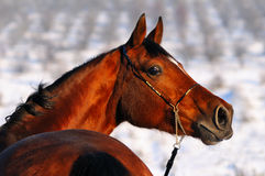 Portrait of bay horse in winter Royalty Free Stock Photography