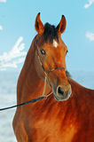 Portrait of bay horse in winter Stock Photography