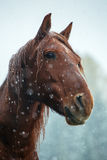 Portrait of a bay horse in winter Royalty Free Stock Photo