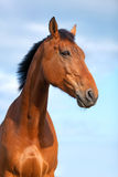 Portrait of a bay horse, 6 years old Royalty Free Stock Image