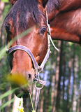 Portrait of bay horse with yellow flowers Royalty Free Stock Photo