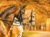 Portrait of bay and pearl gold champagne horses in dressage competition, autumn park with yellow leaves as a background. Royalty Free Stock Photography