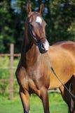 Portrait of bay purebred akhalteke mare Stock Photos