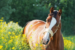 Portrait of bay  sportive  horse in blossom pasture. summer.  Stock Images