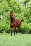 Portrait of bay sportive horse Stock Image
