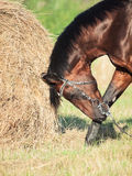 Portrait of Bay sportive horse  in field with haystack Stock Image