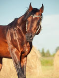 Portrait of Bay sportive horse running in field with haystack Stock Photos
