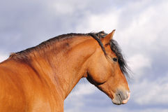 Portrait of bay stallion royalty free stock images