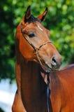 Portrait of bay stallion Stock Image