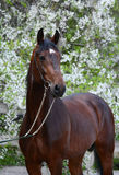 Portrait of a bay stallion. Beautiful portrait of a bay stallion on the background of a flowering Stock Images
