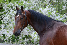 Portrait of a bay stallion. Beautiful portrait of a bay stallion on the background of a flowering Stock Image
