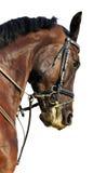 Portrait of bay stallion isolated. On white background Royalty Free Stock Images