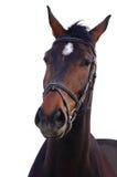 Portrait of bay stallion isolated. On white background Stock Image