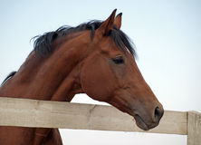 Portrait of bay stallion Stock Photos