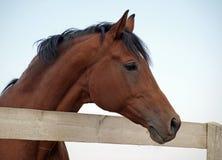 Portrait of bay stallion Stock Photos