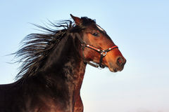Portrait of bay stallion. Young purebred, thoroughbred horse, beautiful horse, bloodstock, graceful animal, noble animal, ungulate, herbivore, bay horse Royalty Free Stock Photography