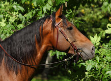 Portrait of a bay thoroughbred stallion Stock Photo