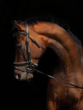 Portrait of a bay thoroughbred stallion Royalty Free Stock Image