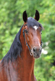 Portrait  of the bay trotter stallion in freedomPortrait of bay orlov trotter on the green background Stock Photo