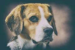 Artistic portrait of a beagle stock images
