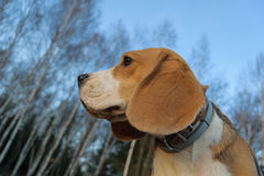 Portrait of a Beagle on the background of birch trees Stock Image