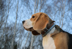 Portrait of a Beagle on the background of birch trees Stock Photography