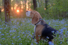 Portrait of a Beagle in blue colors at sunset Stock Image