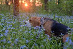 Portrait of a Beagle in blue colors at sunset Royalty Free Stock Photos