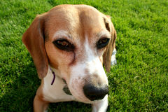 Portrait of beagle dog. Portrait of cute beagle dog with green grass background Royalty Free Stock Image