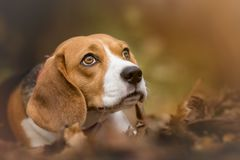 Portrait of Beagle Dog. Autumn portrait of Beagle Dog Stock Images